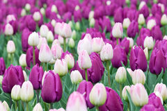 Flower bed with tulips Royalty Free Stock Photography
