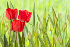 Flower bed with tulips Stock Image