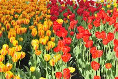 Flower bed with tulips. Bright, red and yellown royalty free stock image