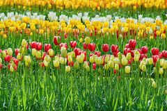 Flower Bed of Tulips Royalty Free Stock Image