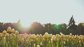 A flower bed of tulips in the park in the evening at sunset in the sun. Shooting in a gentle and beautiful movement. Flower bed of tulips in the park in the stock video