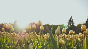 A flower bed of tulips in the park in the evening at sunset in the sun. Shooting in a gentle and beautiful movement. Flower bed of tulips in the park in the stock footage