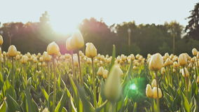A flower bed of tulips in the park in the evening at sunset in the sun. Shooting in a gentle and beautiful movement. Flower bed of tulips in the park in the stock video footage