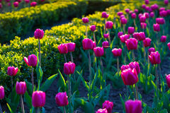 Flower bed with tulips. Royalty Free Stock Photo
