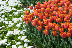 Flower bed with tulips Stock Photos