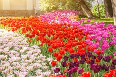 A flower bed of tulips of three different colors. Royalty Free Stock Images