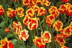Flower bed of unusual red tulips Royalty Free Stock Image