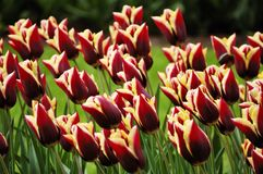 Flower-bed of unusually colored tulips Royalty Free Stock Image