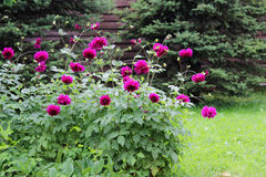 Flower bed with violet ball shaped Dahlia blossoms. Blooming Dahlia flowers in late summer. royalty free stock image