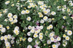 A flower bed of white asters invites friends to the ball. Asters flowers on an isolated background royalty free stock image