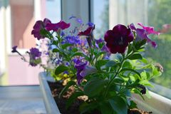 Free Flower Bed With Purple Petunias In Pot. Balcony Greening. Stock Photography - 122692202
