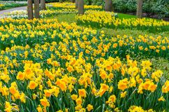 Flower bed with yellow daffodil flowers blooming in the Keukenhof spring garden from Lisse- Netherlands.  royalty free stock photography