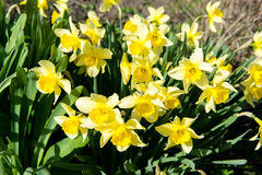 Flower bed with yellow daffodil flowers blooming in the spring, Spring flowers, floral, primroses Stock Photos