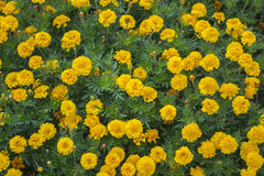 Flower bed of yellow marigolds Royalty Free Stock Images