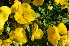 Flower bed of yellow pansy flowers in the garden. Background of blooming bright pansy flowers. royalty free stock image