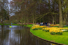 Yellow tulips in the grass in park at Keukenhof. From the garden of Europe, near Amsterdam Stock Photo
