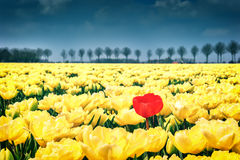 Flower bed of yellow tulips Stock Photo