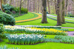 Flower bed with yellow and white daffodil flowers blooming in spring Stock Photography