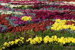Flower beds with colorful chrysanthemums. Parkland in Kiev, Ukraine. Stock Images
