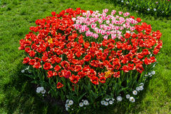 Flower beds and fields sown with colorful tulips. Close-up Royalty Free Stock Images