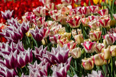 Flower beds and fields sown with colorful tulips. Close-up Royalty Free Stock Image