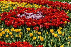 Flower beds and fields sown with colorful tulips. Close-up Stock Photo