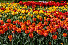 Flower beds and fields sown with colorful tulips. Close-up Royalty Free Stock Photography