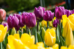 Flower beds and fields sown with colorful tulips. Close-up Stock Photography