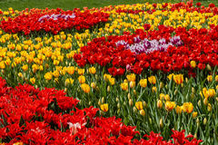 Flower beds and fields sown with colorful tulips. Close up Royalty Free Stock Photography