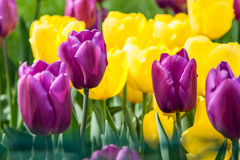 Flower beds and fields sown with colorful tulips. Close up Stock Images