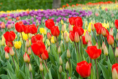 Flower beds and fields sown with colorful tulips. Close up Stock Photo