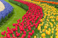Flower beds of multicolored tulips Stock Photography