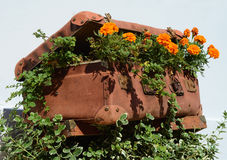 Flower beds in an old suitcase (travel, travel, travel agency, d Royalty Free Stock Photo