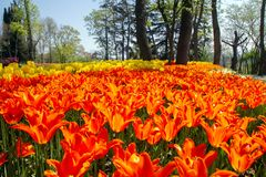 Flower beds with orange and yellow tulips in the tulip festival Emirgan Park, Istanbul, Turkey stock photography