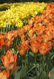 Flower beds of tulips and daffodils Royalty Free Stock Images
