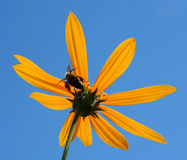 Flower  and a bee. Flower with yellow and a bee against the dark blue sky Royalty Free Stock Photos