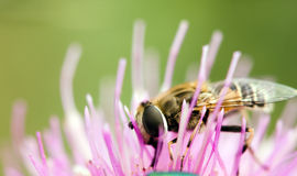The flower and bee Stock Images