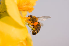 The flower and bee. Macro shot of Bee Pollinating a Bright Flower Stock Photos