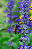 Flower and Bee. The purple flower and bee in the garden stock photography