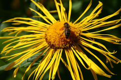 Flower and a bee. View of a honey bee on a inula Stock Image