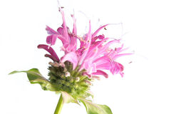 Flower of bee balm Stock Image