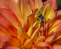 Flower and Bee. Beautiful Orange Flower with Bee Hiding Among Petals Royalty Free Stock Image