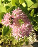 Flower and Bee Royalty Free Stock Photography