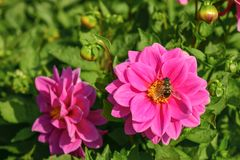 On a flower the bee collects the nectar. Flowerbed with pink flowers royalty free stock photo