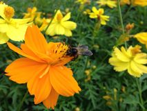 Flower and Bee. Cosmos  ชื่อสามัญ : Cosmos, Mexican aster Royalty Free Stock Photography