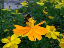 Flower and Bee. Cosmos, Mexican aster Royalty Free Stock Images
