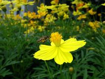 Flower and Bee. Cosmos, Mexican aster Stock Images