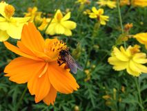 Flower and bee. Cosmos, Mexican aster Royalty Free Stock Photography