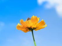 Flower. Bee find nectar on the yellow flower Royalty Free Stock Photography