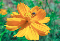 Flower. Bee find nectar on the yellow flower Stock Photos